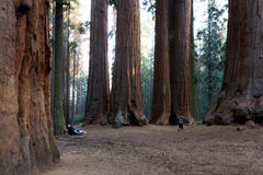 Giant sequoia grove Royalty Free Stock Image