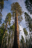 Giant Sequoia Grove. Giant Sequoias photographed at Mariposa Grove, Yosemite National Park royalty free stock images