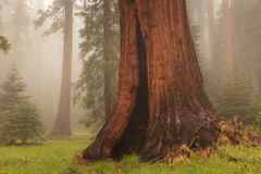 Giant Sequoia. This image of a giant Sequoia tree was captured in the Sequoia National Park in California. The foggy conditions gave the scene an ethereal royalty free stock photo