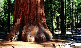 Giant Sequoia. Mariposa Grove at Grove National Park, California USA Royalty Free Stock Photo