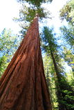Giant Sequoia. At Maripose Grove National Park in California, USA Royalty Free Stock Images