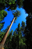 Giant Sequoia. At Maripose Grove National Park in California, USA Royalty Free Stock Image