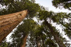 Giant Sequoia National Monument Stock Photos