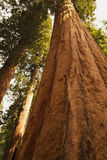 Giant Sequoia National Monument Stock Photography