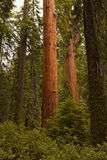 Giant Sequoia National Monument Royalty Free Stock Images
