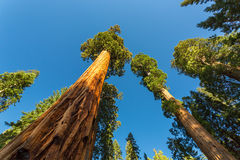 Giant Sequoia redwood trees with blue sky Royalty Free Stock Images