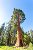 Giant Sequoia redwood trees with blue sky Stock Images