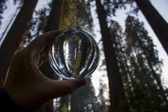 Giant Sequoia Redwood Trees Forest Captured in Glass Globe. Grove of Giant Sequoia Redwood trees captured in glass ball reflection held in fingers stock photos