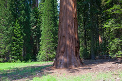 Giant Sequoia redwood trees in Sequoia national park Stock Photo