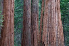 Giant Sequoia redwood trees in Sequoia national park Royalty Free Stock Photography