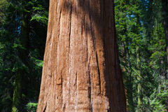 Giant Sequoia redwood trees in Sequoia national park Royalty Free Stock Photos