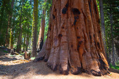 Giant Sequoia redwood trees in Sequoia national park Royalty Free Stock Image