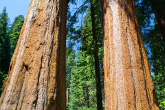Giant Sequoia redwood trees in Sequoia national park Stock Image