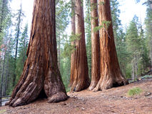 Giant Sequoia's Royalty Free Stock Image