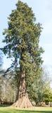 Giant sequoia, Scotland Stock Image