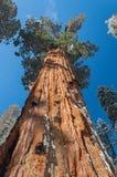 Giant Sequoia tree Royalty Free Stock Photos