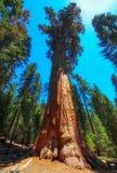 Sequoia tree, Yosemite national park, USA Royalty Free Stock Photos