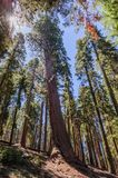 Giant Sequoia in the Sherman Grove Royalty Free Stock Images