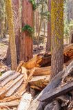 Giant Sequoia in the Sherman Grove Royalty Free Stock Image
