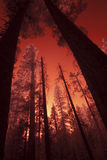 Giant Sequoia Sunset. Vertical infrared image of giant sequoia forest in Yosemite National Park royalty free stock photos