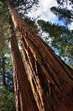 Giant Sequoia Tree. In Yosemite National Park in California Royalty Free Stock Images