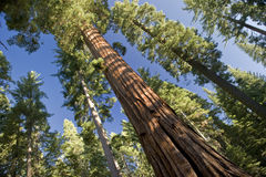 The Giant Sequoia Tree Stock Photo