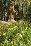 The Giant Sequoia Tree. A giant Sequoia tree surrounded by wildflowers it in Yosemite National Park royalty free stock photography