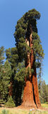 Giant Sequoia Tree Stock Image