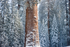 The Giant Sequoia Tree covered in snow. High up in the mountains royalty free stock image
