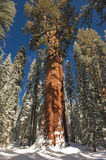 The Giant Sequoia Tree covered in snow. High up in the mountains royalty free stock images