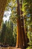 Giant Sequoia Tree, Giant Forest, California USA. Sequoia Trees near Giant Forest Museum. Location: Sequoia National Park in California, USA. Near: Kings Canyon stock photos