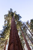 Giant sequoia tree Stock Images