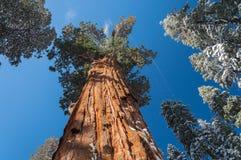 Giant Sequoia tree Stock Photo