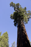 Giant Sequoia Tree in Sequoia National Park Royalty Free Stock Photo