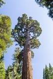 Giant sequoia tree Sequoiadendron giganteum in Sequoia National Stock Photos