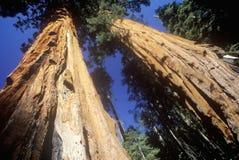 Giant Sequoia Trees Royalty Free Stock Photos