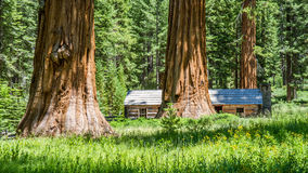 Giant Sequoia trees Royalty Free Stock Photos