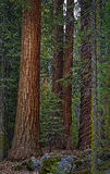 Giant Sequoia Trees, California. A grove of giant red sequoia trees in the forest of Sequoia National park in the Sierra Nevada mountains of California Royalty Free Stock Images