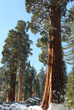 The Giant Sequoia Trees covered in snow. Royalty Free Stock Photos