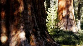 Giant sequoia trees stock footage