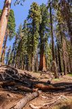 Giant Sequoia in the Sherman Grove Stock Photography