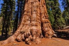 Giant Sequoia in the Sherman Grove Stock Photos