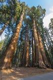 Giant Sequoia trees. Sequoiadendron giganteum in Sequoia National Park, California, USA Stock Photos