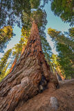 Giant Sequoia Trees Stock Images