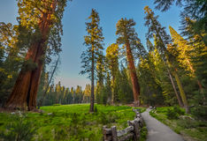 Giant Sequoia Trees Royalty Free Stock Photography
