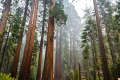 Giant Sequoia trees in Mariposa Grove, Yosemite National Park. California; smoke from Ferguson Fire visible in the air stock photo