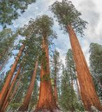 Giant Sequoia Trees in Sequoia National Park , USA. Giant Sequoia Trees  Sequoiadendron giganteum, in Sequoia National Park during the winter, USA Royalty Free Stock Image
