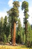 Giant Sequoia Trees royalty free stock image