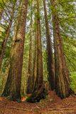Giant sequoia trees in the Redwoods Forest in California Stock Photos