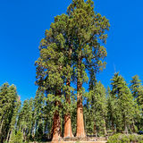 Giant sequoia trees in Sequoia National Park Stock Photos